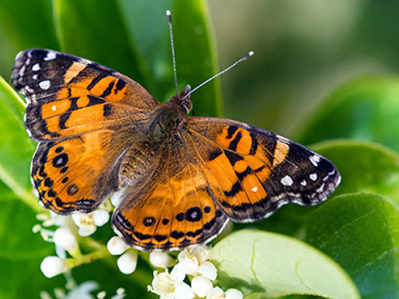 The Great Butterfly Adventure: Africa to Britain with the Painted Lady (2016)